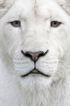 #whitelion