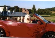 My Sweet Old English Sheep dog Emery in his favorite car ever!