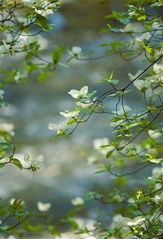 Dogwood Blossoms by Elizabeth Carmel