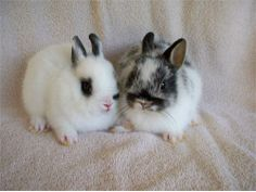 Netherland Dwarf bunnies- so adorable