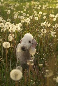 So pretty! that is one thing bedlington terriers love is ithe outdoors. I can tell from personal experience if my dogs could they would be outside all day long!