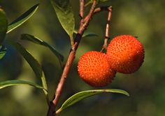 What is a strawberry tree? According to strawberry tree information, this is a lovely little evergreen ornamental, offering lovely flowers and strawberrylike fruit. Click this article for tips on how to grow a strawberry tree and its care.