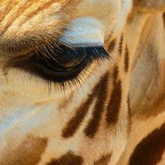 eye_of_a_giraffe_by_heleeeen-d3fb7yh.jpg (894×894)