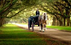 Live Oak Tunnel and Carriage at Wormsloe Plantation