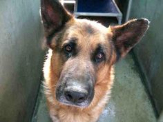 California- a gorgeous five yr old male.  That face looks just like my Moxie.  This is a quality dog;  HELP!