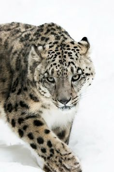 Snow leopard.  (KO) Beautiful and slinky. Quick and deadly hunter. Gorgeous big cat.