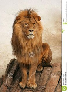 Lion Book, Male Lion, King, Animales