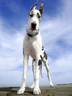 The Harlequin Great Dane is the bows.