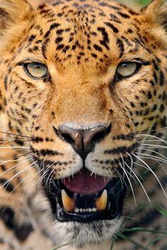 Leopard ....