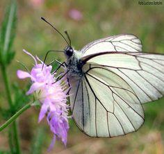 #butterflies #butterfly #nature #beautiful #amazing #bellissime #farfalla #farfalle #flowers #flower #fiori #natura #fiore #incanto #meravigliedellanatura #meraviglie #white #bianco #black #nero #dots #pois
