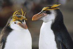 Royal Penguin Eudyptes schlegeli - Google Search