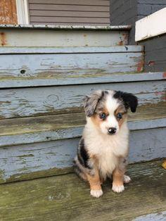 Meet Sweetie my new mini Australian Shepherd http://ift.tt/2fyedES
