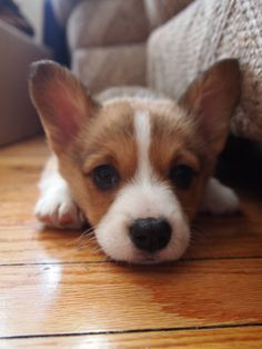 corgi! miss you puppy!!):
