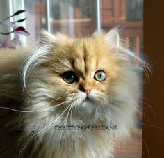 Reputable Missouri Persian cat breeder - CHRISTYPAW PERSIANS Teacup Persian Kittens, Persian Kittens For Sale, Persian Cats, Kitten For Sale, Persian Cat Breeders, Phone Number Location, House Rabbit, Animal House, Exotic Pets