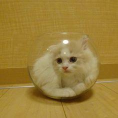 #kucingbikingemes ini kiriman dari : @omochi_chikuwa    punya #kucingbikingemes juga? follow dan tag @kucingbikingemes  jangan lupa pakai #kucingbikingemes   via #catsofinstagram #cat #cats #catofinstagram #cat_of_instagram #catstagram #catsoftheworld #catslover #catgram #catagram #catslife #kucing #kucingku #kucinglucu #kucingsaya #kucingimut