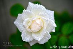 Roses by torazaburo #nature #mothernature #travel #traveling #vacation #visiting #trip #holiday #tourism #tourist #photooftheday #amazing #picoftheday
