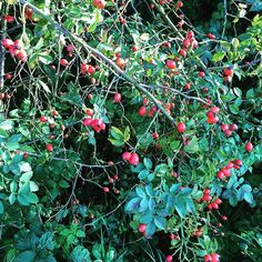 The hedgerows are full of beautiful bright red rose hips they look so good there must be something good you can do with them. Any ideas welcome? #gardeningtips #growsomethinggreen #homemade #growyourown #urbangardenersrepublic #urbanorganicgardener #foraging #forageandharvest #gardeninglife #gardentotable #garden #gardening #rosehip #englishcountryside #b_inthecountry by bryo