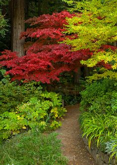 Pathway, Japanese Maple, Fern Canyon Garden, Mill Valley, California A girl can dream Garden Paths, Lawn And Garden, Beautiful Landscapes, Beautiful Gardens, Bush Garden, Woodland Garden, Japanese Maple, Front Yard Landscaping, Landscaping Ideas