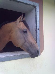 Buckskin Quarter Horse