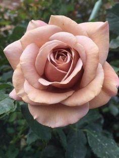 Beautiful Rose Flowers, Flowers Nature, Exotic Flowers, Beautiful Flowers, Rose Reference, Rosa Rose, Hybrid Tea Roses, Growing Roses, Pink Peonies