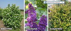 Δέντρα για μικρούς κήπους και αυλές : Βιβούρνο, Πασχαλιοά, Ελαίαγνος