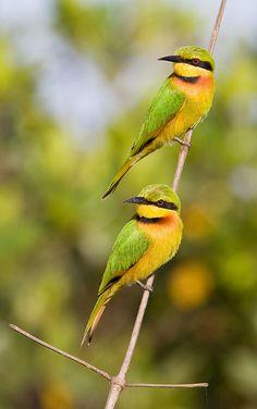 Little Bee-eaters (Merops Pusillus) by kerry.bluett