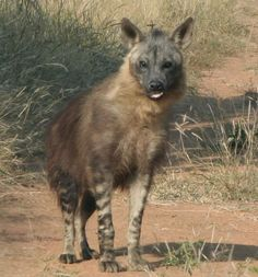 Hyena Sahara Desert Animals Pictures Hyenas usually bear litters of two to four cubs, which, unlike the other two species, are born Hyenas . African Wild Dog, African Safari, All Animals Pictures, Brown Hyena, Striped Hyena, Desert Animals, Wild Dogs, African Animals, Zebras