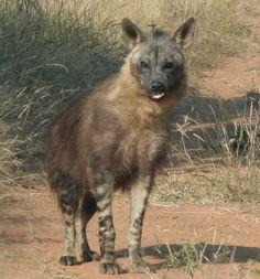 animals of the desert | Hyena Sahara Desert Animals Photos