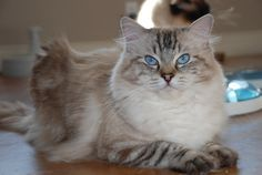 Jamie, our handsome Seal point lynx Ragdoll male. Love his blue eyes and lynx markings.