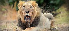 #WorldLionDay: Saving Big Cats from Extinction