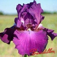 Iris : SPELLBREAKER