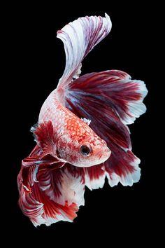 Beta Fish Drawing, Fish Drawings, Beautiful Tropical Fish, Beautiful Fish, Animals And Pets, Cute Animals, Pretty Fish, Beautiful Sea Creatures, Carpe Koi