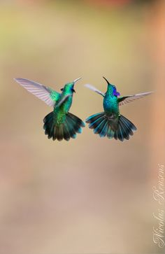 Flying thalassinus (violet green hummingbirds family Trochilidae)