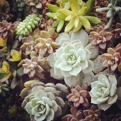 #ボタニカル#アプリ#greensnap  #多肉#多肉植物#多肉バカ同盟 # #観葉植物 #ガーデニング #グリーンインテリア #園芸 #花部 #フラワー #花のある暮らし  #succulents #cactus#gardening #containergarden #flowerstagram #florist #greenthumb #greenlife #plants#containergarden#botanical#igersjp