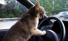 Este gato que tem comportamento violento extremo no trânsito.