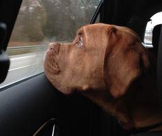 #newtonthefrenchmastiff // Newto, die Bordeaux Dogge, fährt als Welpe zum ersten mal Auto