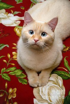 Flame Point Siamese Cat Photograph by Amy Cicconi