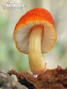 Flame Shield-cap (Pluteus Aurantiorugosus) ~ © Jaroslav Maly