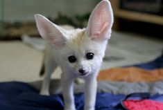 Pretty sure Fennec foxes are the most adorable animal in existence.