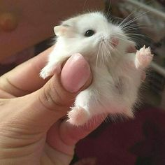Baby Guinea Pigs The Owners Care Guide - AWW - - dwarf hamster very cute! The post Baby Guinea Pigs The Owners Care Guide appeared first on Gag Dad. Baby Animals Super Cute, Cute Little Animals, Cute Funny Animals, Cute Cats, Cute Little Things, Baby Animals Pictures, Cute Animal Pictures, Animals And Pets, Pet Pictures