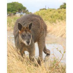 #kangouroo #wallabies #animal #greatoceanroad #victoria #portfairy #highland #natural #chillout #wild #wildlife #canonshot #canon #50mm #roadtrip #naturelovers #australia by max_ngrtt
