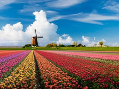 Holland. Tulips & windmills. Gorgeous! (from Sweet Cs Designs)--& yes, we were in Amsterdam but missed the blooming flowers, darn it! (mkc)
