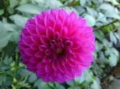 Hot Pink Ball Dahlias September Though November But All Year In Limited Quanies