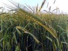 Grain - Rye - Rye Plant, Food Plot, Natural Farming, Catcher In The Rye, Garden Tool Set, Rye Whiskey, Whiskey Cocktails, Grain Foods, Flowers