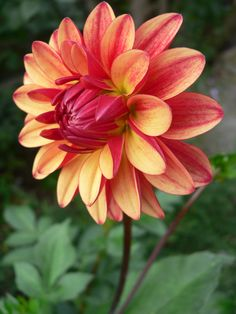 Exotic Flowers, Amazing Flowers, Colorful Flowers, Beautiful Flowers, Dahlia Flower, Flower Art, Ikebana, Rose Flower Pictures, Virtual Flowers