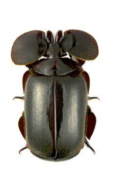 Platyrhopalopsis (Platyrhopolopsis) picteti