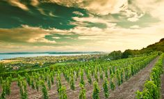 Weinplantage Ungarn