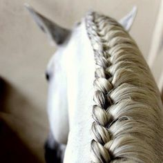 A braid is something every Andalusian horse owner should know. There is nothing greater than a Spanish Mare running free with a loose mane, but when competing or for daily work, the braid is most suitable.