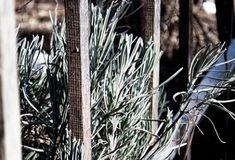 Plantarea rasadurilor de rosii - sfaturi - magazinul de acasă Dandelion, Flowers, Plant, Dandelions, Taraxacum Officinale, Royal Icing Flowers, Flower, Florals, Floral