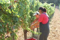 Grape harvest of Traminer 2012